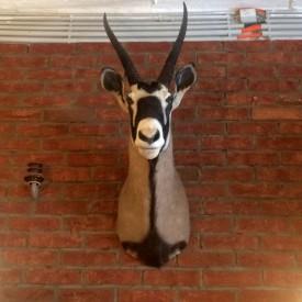 wandel-antik-02812-tierpräparat-kopf-einer-oryxantilope