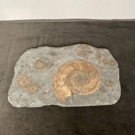 wandel-antik-03753-wandobjekt-schieferplatte-mit-großem-ammonit